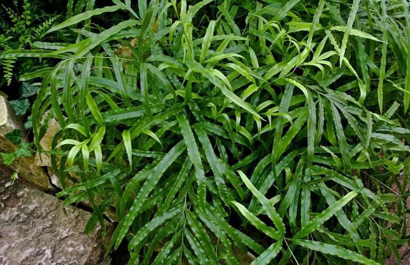Аспарагус серповидный Asparagus faicatus фото