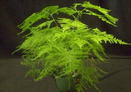 Аспарагус тончайший Asparagus benuissimus фото