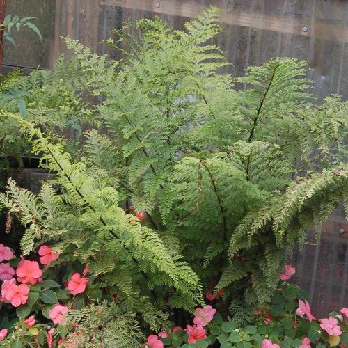 Асплениум комнатные растения