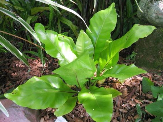 Асплениум южноазиатский Asplenium australasicum