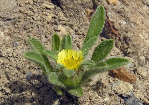 Астерискус карликовый Asteriscus pygmaeus