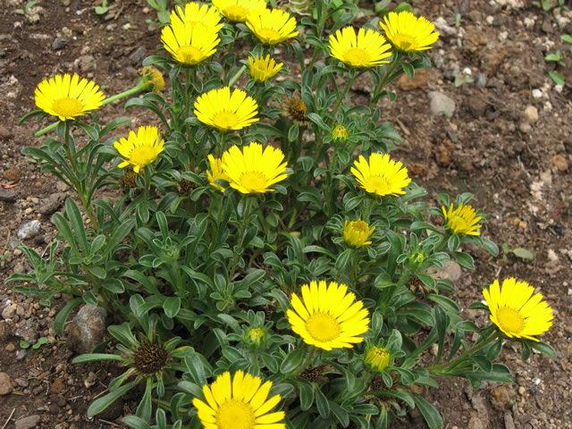 Астерискус карликовый выращивание и уход фото
