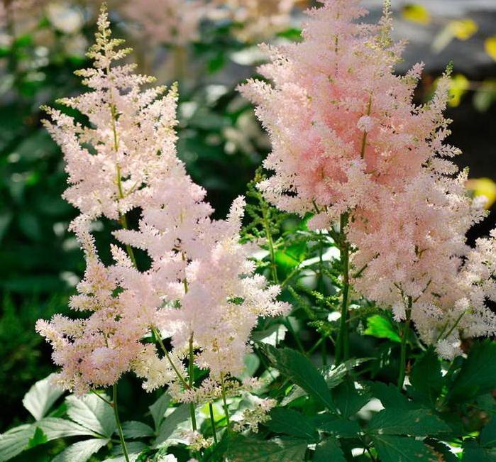 Астильба Арендса Astilbe arendsii Europa фото цветов в саду