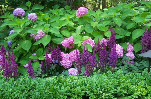 Астильба и гортензия фото в саду