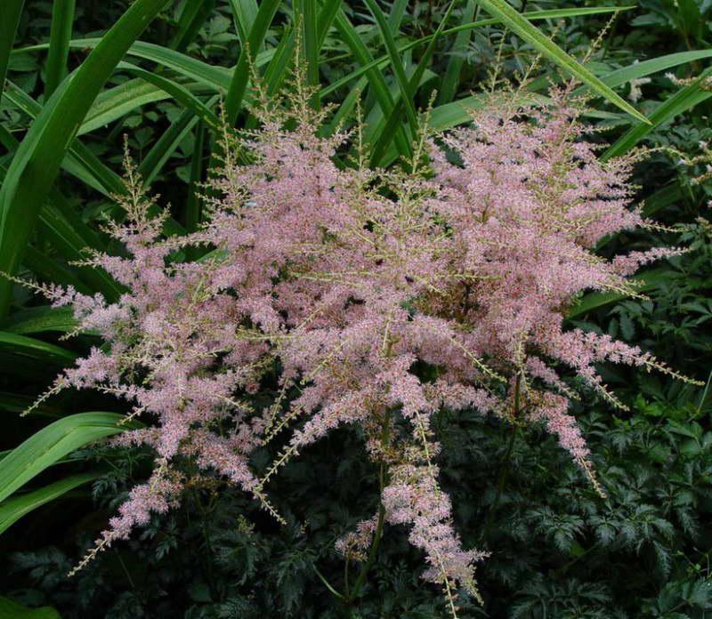 Астильба простолистная Astilbe Simplicifolia 'Hennie Graafland' фото цветов в саду
