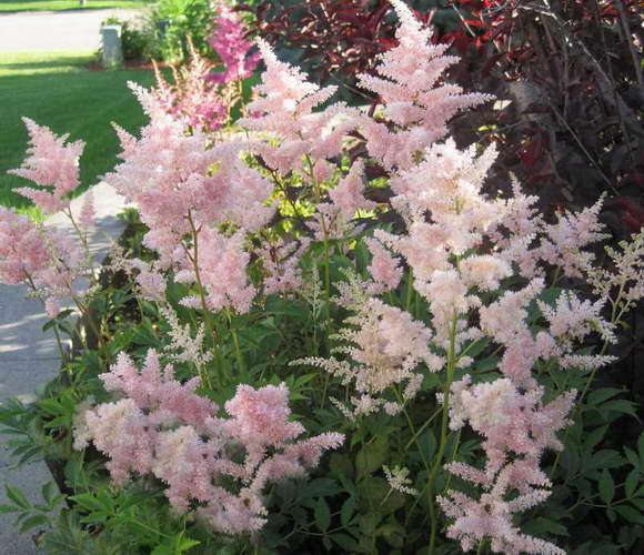 Астильбы в саду дизайн фото сорт Astilbe japonica 'Peach Blossom' сочетание с пузыреплодником