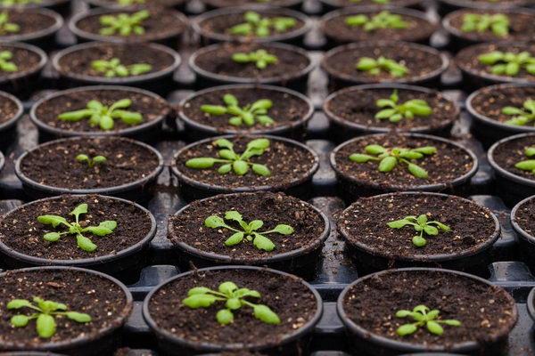 Астра альпийская многолетняя выращивание из семян