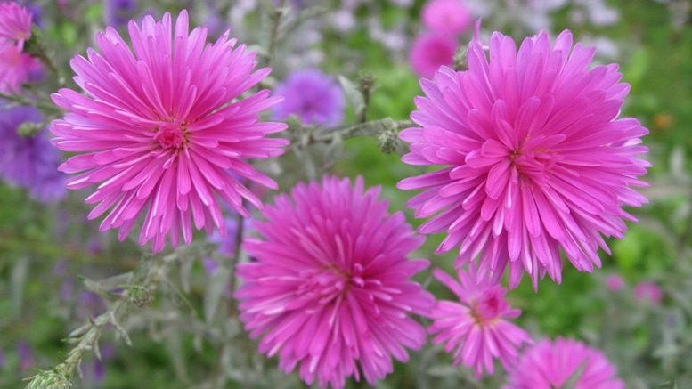 Астра китайская фото цветов