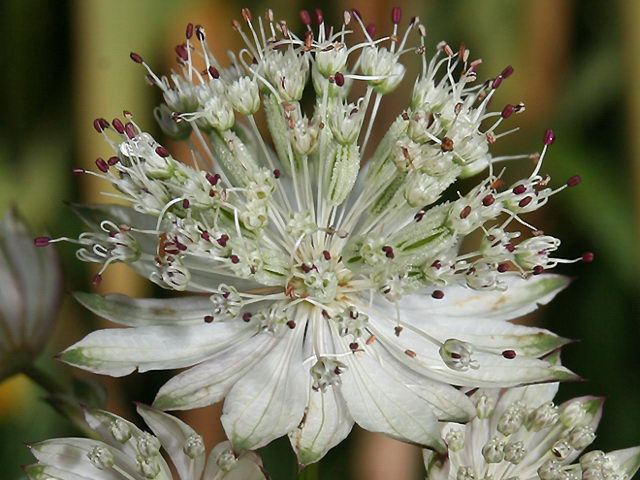 Астранция малая Astrantia minor фото