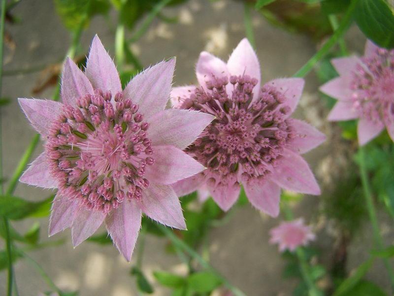 Астранция розовая Розея фото