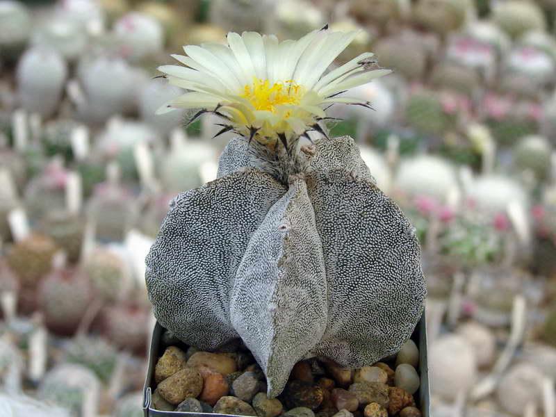 Астрофитум астрофитум тысячекрапинковый, крапчатый, многорыльчатый или мириостигма Astrophytum myriostigma фото