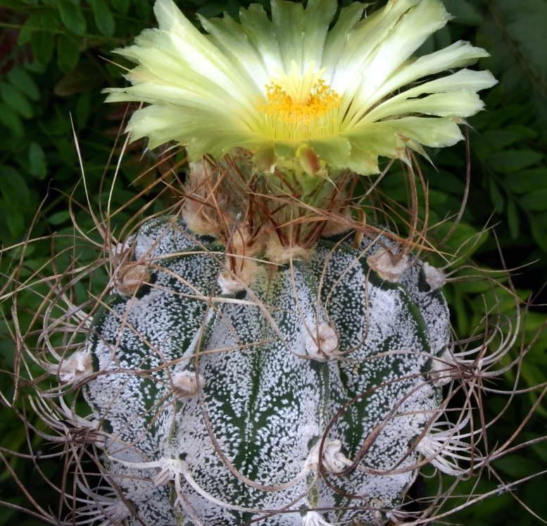 Астрофитум козерогий Astrophytum capricorne фото