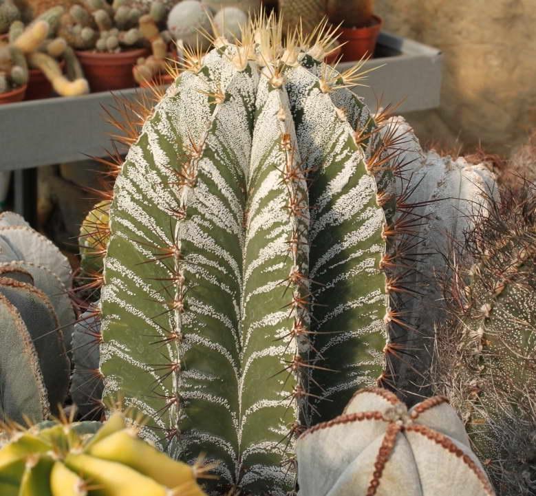 Астрофитум украшенный или орнатум Astrophytum ornatum фото