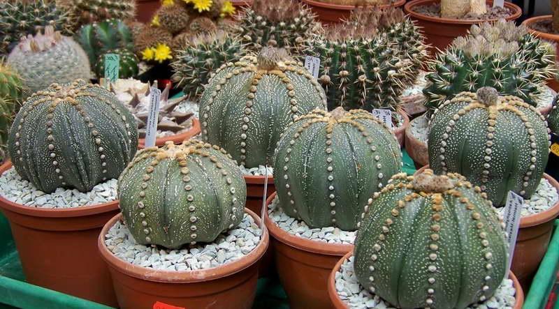 Астрофитум звездчатый Astrophytum asterias фото