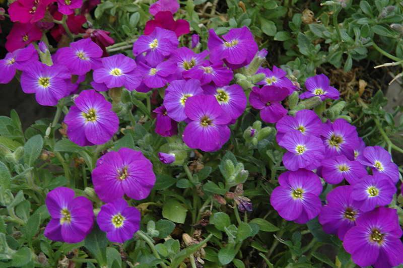 Аубреция Aubrieta 'Axcent Violet With Eye' фото