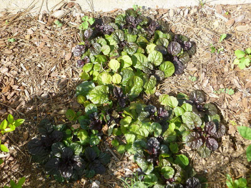 Аюга живучка выращивание из семян
