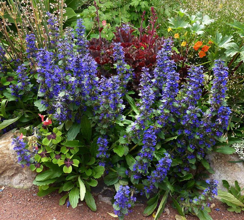 Аюга живучка женевская фото цветов