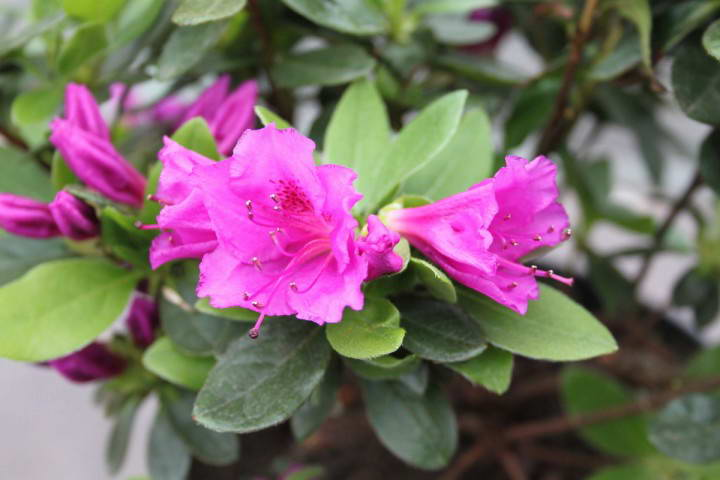Азалия японская рододендрон тупой Rhododendron obtusum 'Königstein'