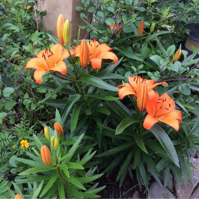 Азиатская лилия Apeldoorn фото