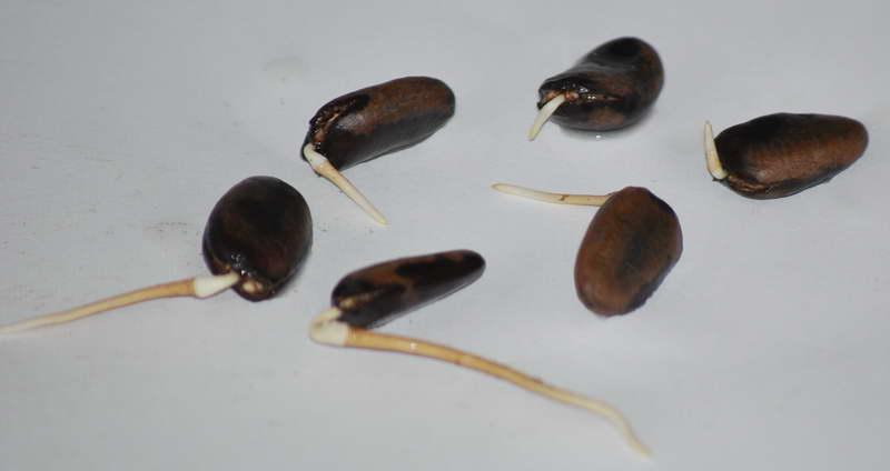 Азимина из косточки выращивание в домашних условиях