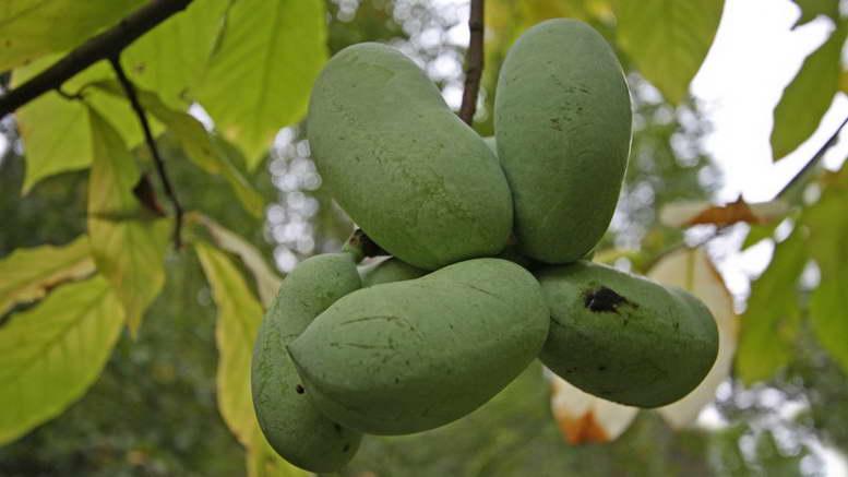 Азимина выращивание и уход в открытом грунте