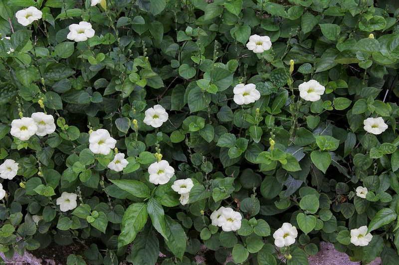 Азистазия ганская или китайская фиалка Asystasia gangetica фото