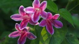 Азистазия уход в домашних условиях фото цветов