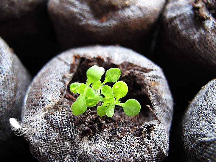 Бакопа ампельная выращивание из семян фото