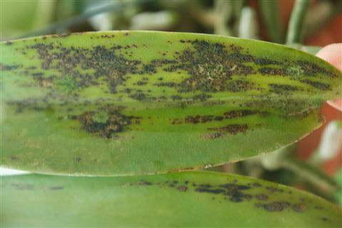 Грибковая инфекция дендробиума Guignardia фото