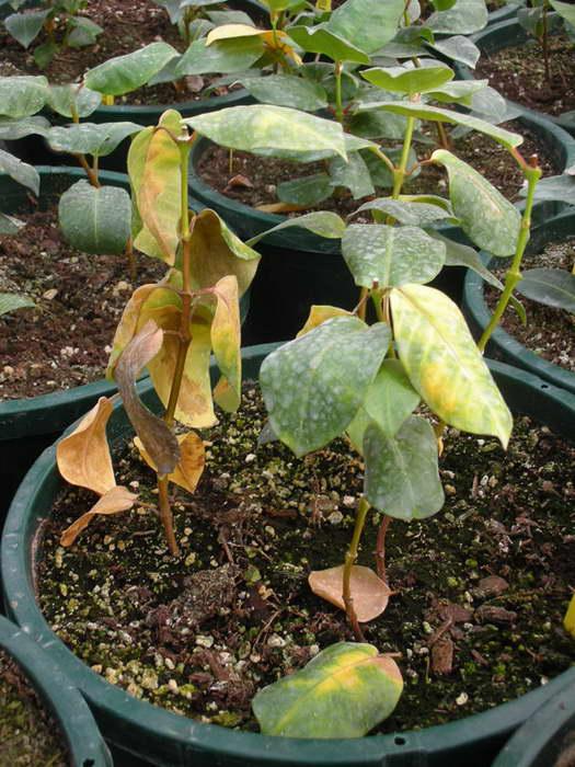Бактериальное поражение Southern Wilt на дипладении мандевилле - листья сохнут и опадают фото