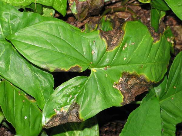 Бактериальное поражение листьев сингониума фото