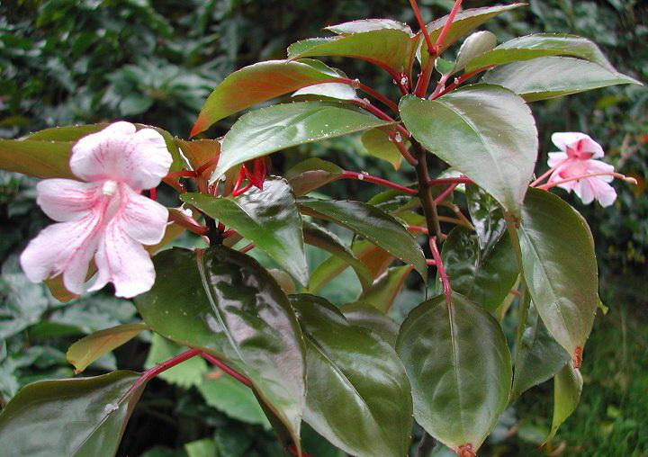 Бальзамин крупноцветковый Impatiens hookeriana или Impatiens grandis