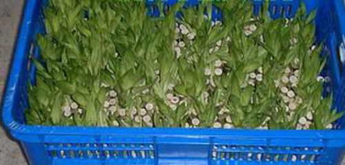 Бамбук драцена из семян в домашних условиях фото всходов
