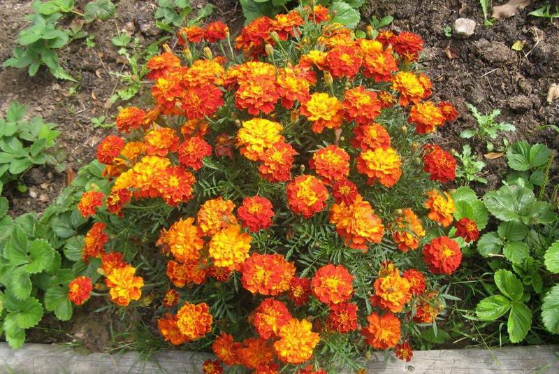 Бархатцы фото цветов на клумбе и в саду