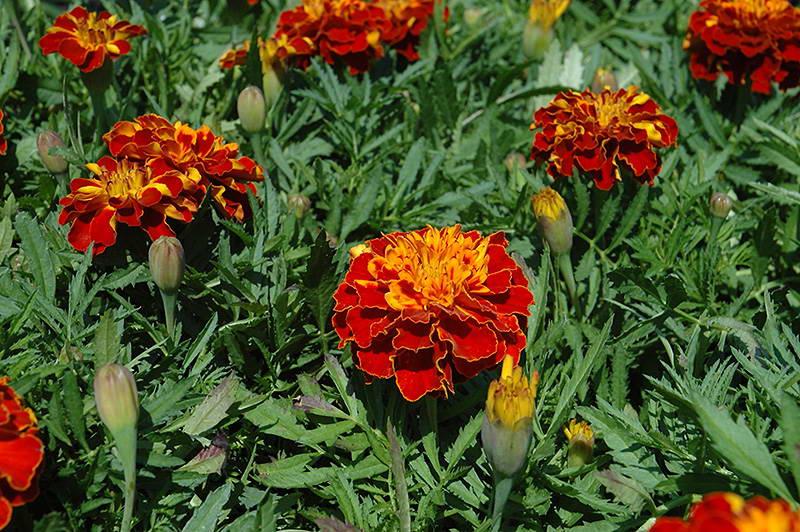 Бархатцы мелкоцветные Tagetes patula 'Bonanza Harmony' фото