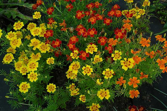 Бархатцы мелкоцветные посадка и уход фото цветов на клумбе