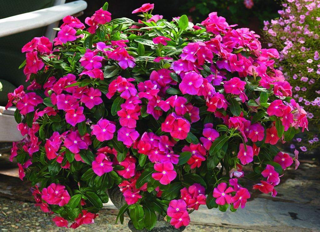 Барвинок ампельный фото цветов