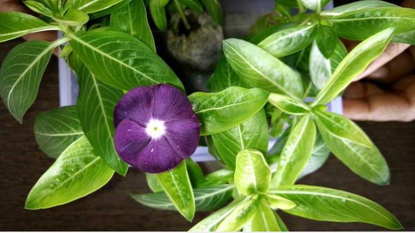 Барвинок ампельный выращивание из семян фото
