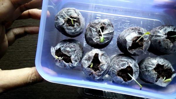 Барвинок из семян в домашних условиях фото