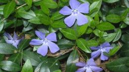 Барвинок посадка и уход в открытом грунте на фото сорт цветов vinca minor