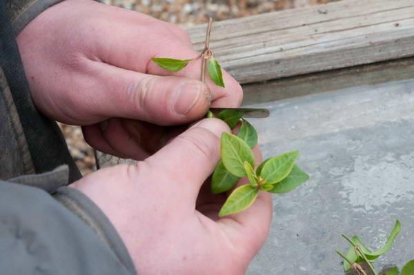 Барвинок- фото, малый и другие виды, посадка и уход в открытом грунте, лечебные свойства