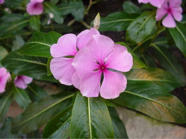 Барвинок розовый Vinca rosea catharanthus