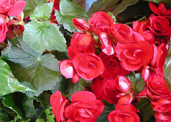 Бегония Элатиор Begonia x hiemalis, Begonia Elatior