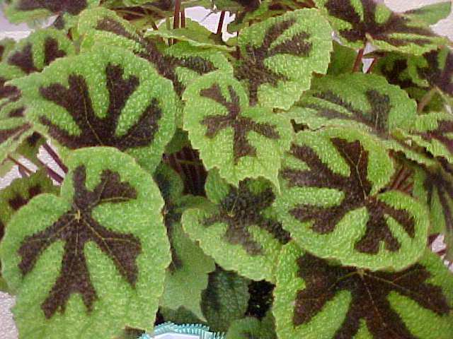 Бегония Мэсона Айрон кросс Begonia Iron Cross (Begonia masoniana)
