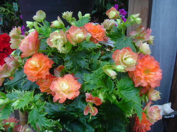 Бегония Ренессанс Begonia elatior 'Renaissance Eden' фото