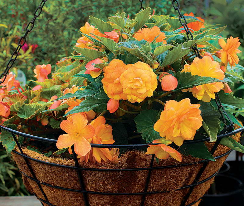 Бегония ампельная Begonia x tuberhybrida pendula Illumination Apricot фото