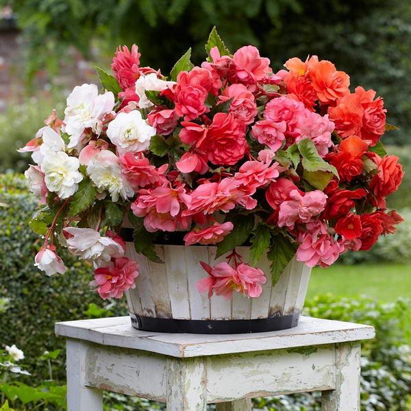 Бегония фото цветов