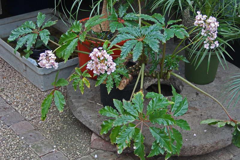 Бегония каролинолистная Begonia carolineifolia фото
