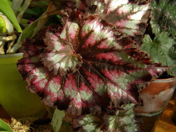 Бегония королевская Шоколит крим Begonia Chocolate cream фото