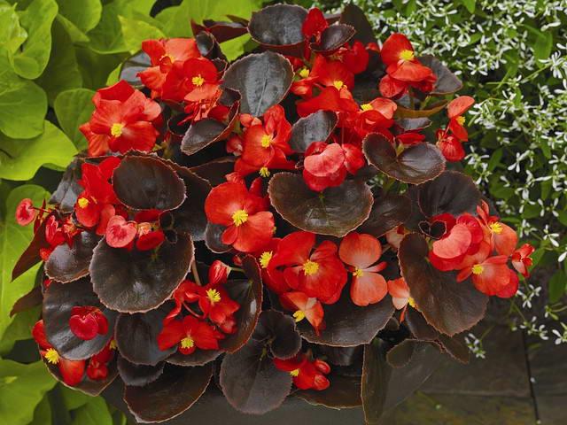 Бегония вечноцветущая Begonia semperflorens посадка и уход фото